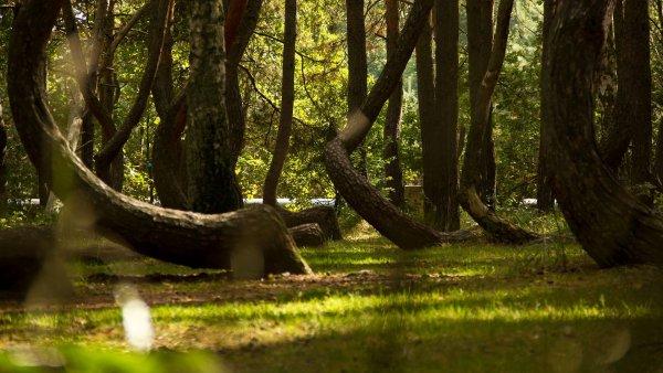 görbe erdő lengyelország