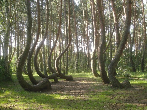 görbe erdő Nowe Czarnowo