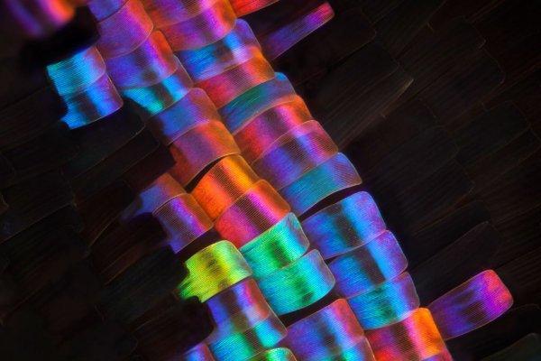 pillangó szárny mikroszkóp alatt