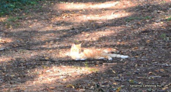 Isonzó front macska